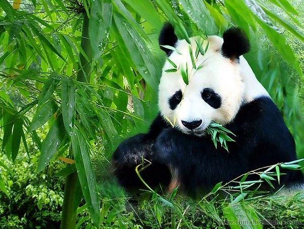 Overview Of Long Panda Tour In Chengdu